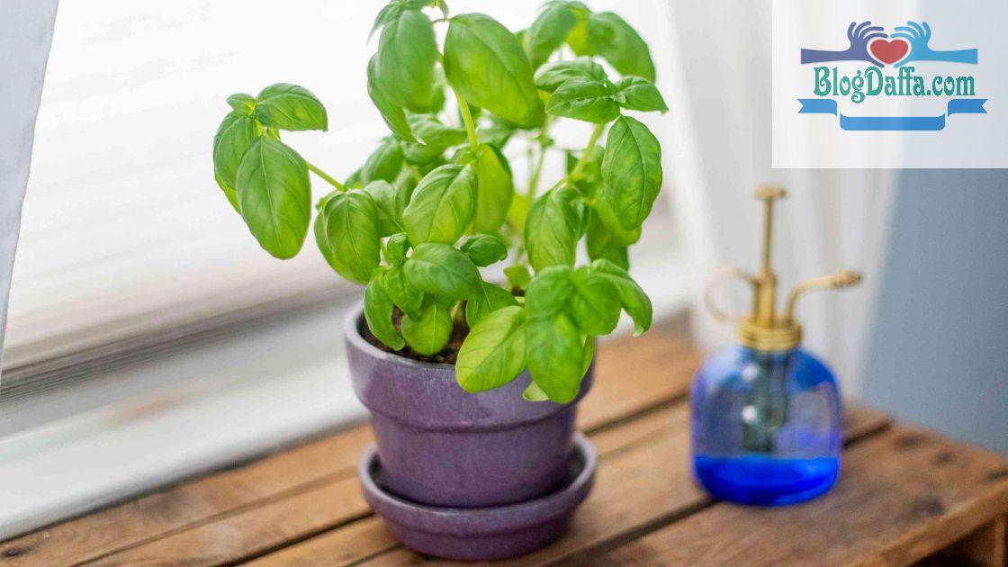 Basil tanaman pembawa keberuntungan