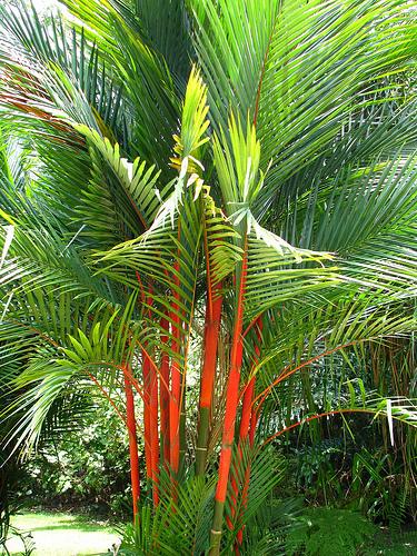 Nayara Gardens Palma De Tallo Rojo Cyrtostachys Renda