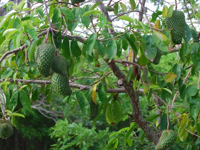Frutti e Foglie Graviola