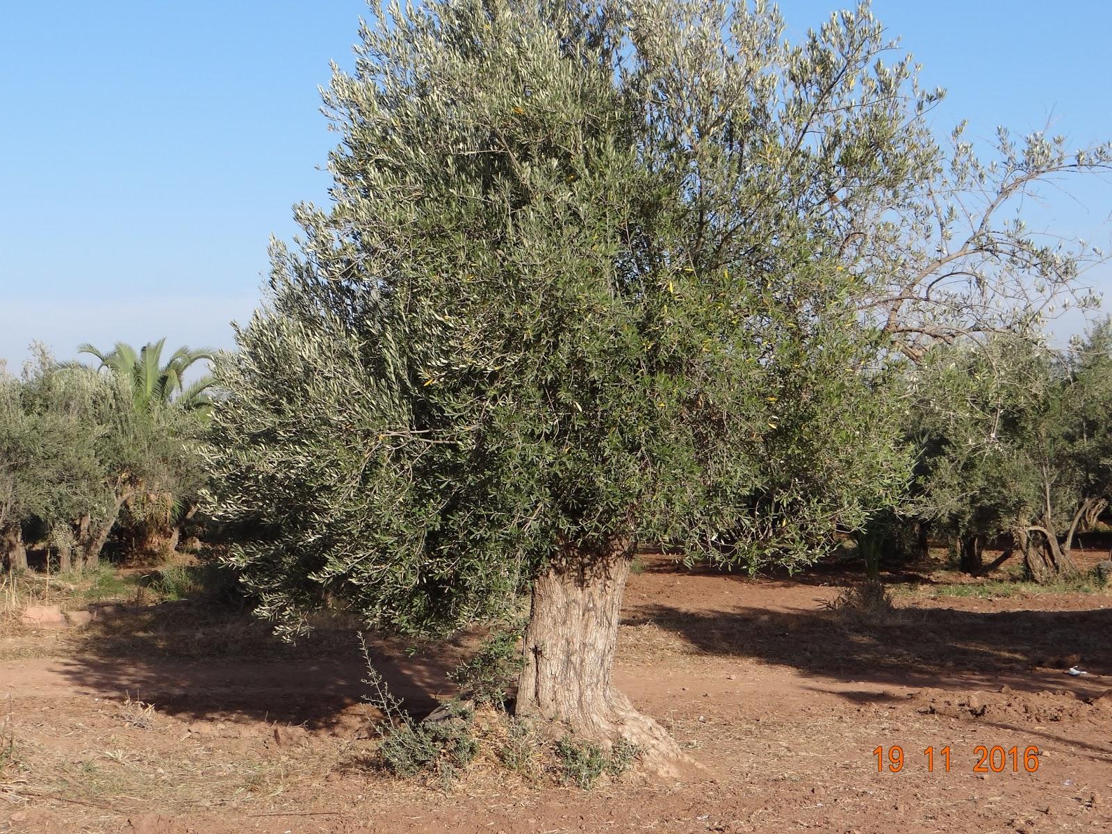 Rajeev\'s World: The Olive Groves Of Menara...