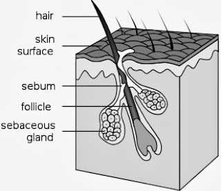 Cross section of the skin hair follicle