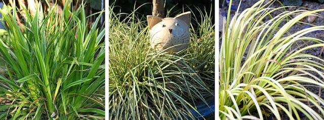 Gräser als Buchsersatz