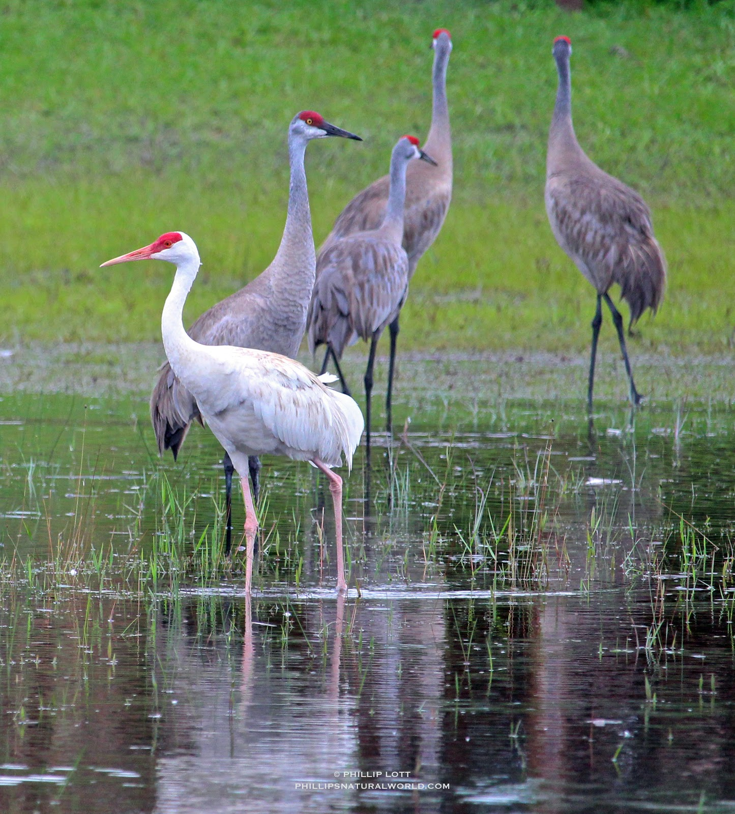 This Summer Floridas Rarest Bird May Well Be 1 In A Million Leucistic Almost All White Sandhill Crane That Is Roosting The Huge Lake Theresa