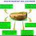 Kandungan dan Manfaat Jelly Gamat Gold G
