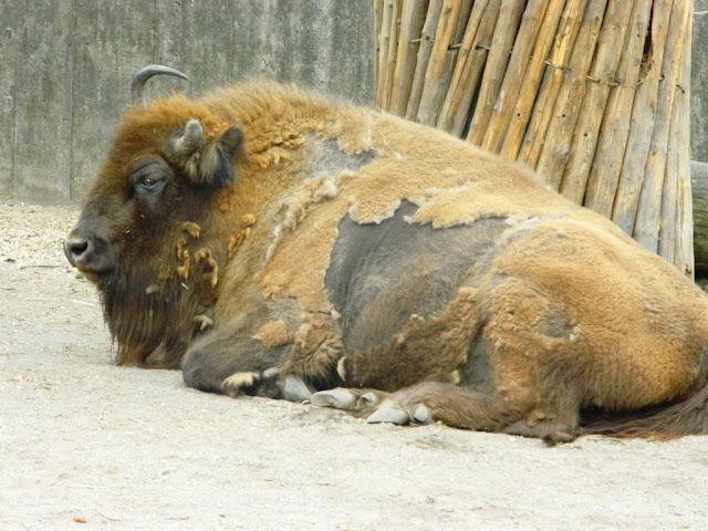 european bison, bison, skansen, skansen zoo, skansen stockholm,