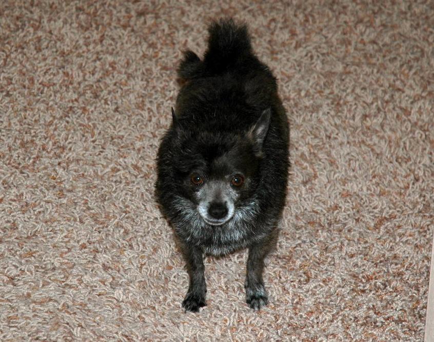 Animals In Baths Roxy The Chihuahua Pomeranian Mix