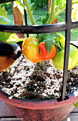 Dog sniffing tomatoes on the vine