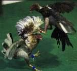 Kejuaraan sabung ayam dunia di Kolumbia