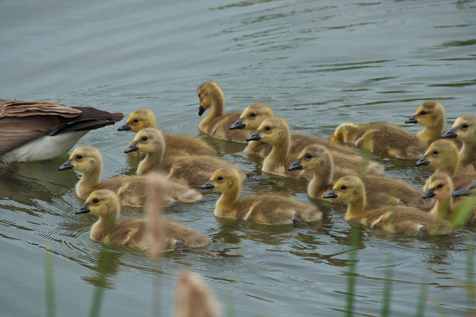 Feather Tailed Stories: Goslings