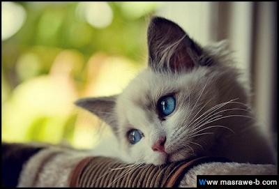 صور صور قطط كيوت 2020 خلفيات قطط جميلة جدا cats51.png