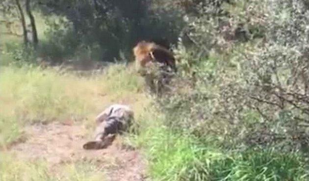 Σκηνές τρόμου: Τον άρπαξε λιοντάρι και τον έσερνε μπροστά στους θεατές (βίντεο)