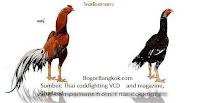 10 Ayam Jago Bangkok dan Ayam Betina