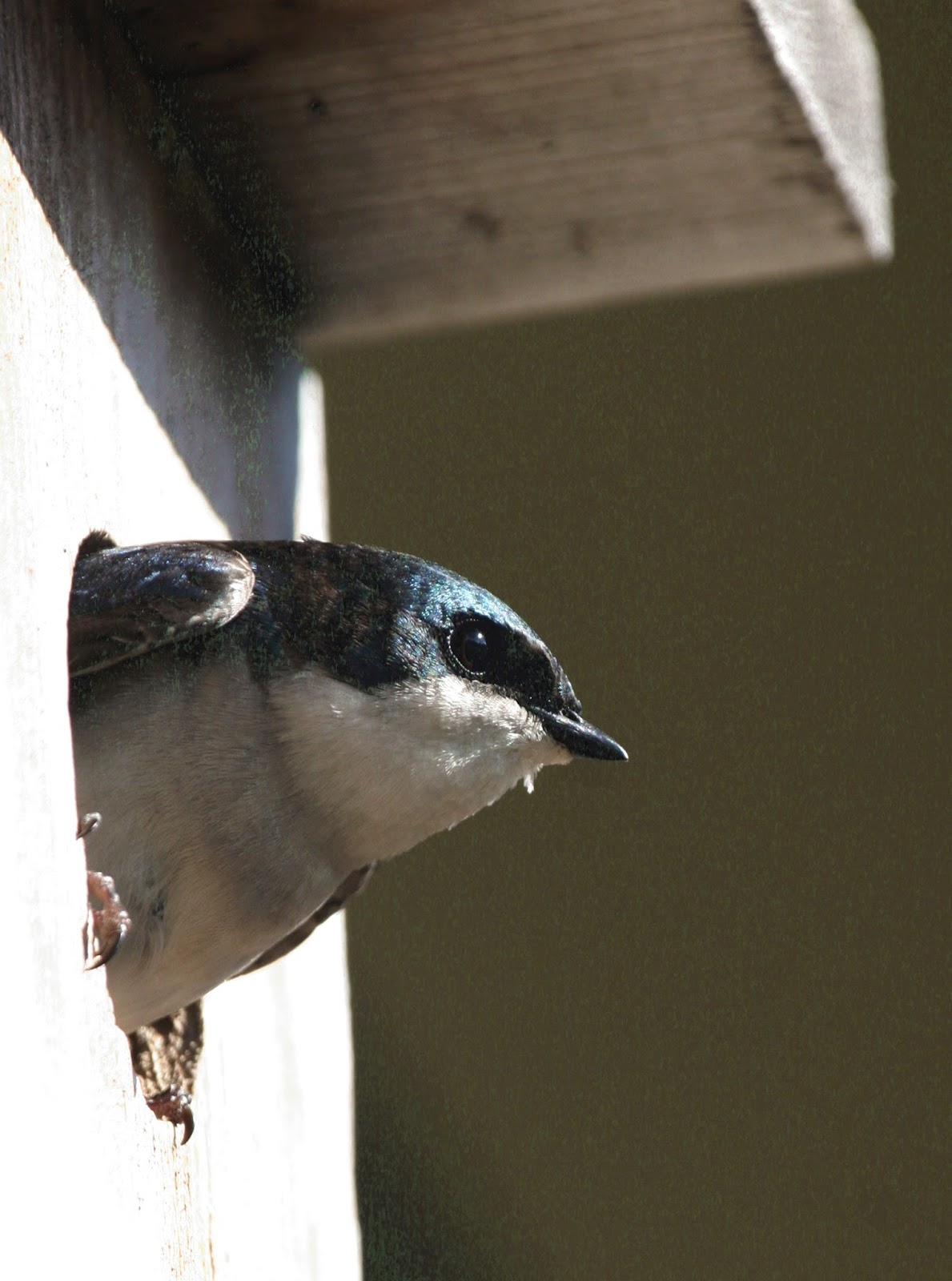 Tree Swallow Facts 96