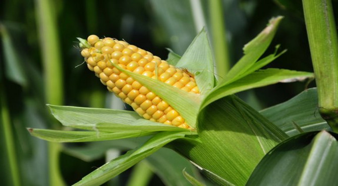 Les ravageurs du maïs