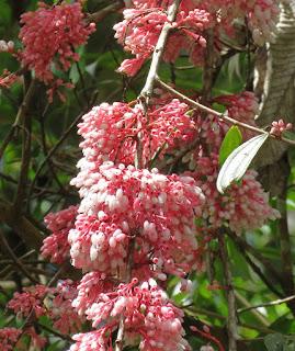 Thibaudia costaricensis