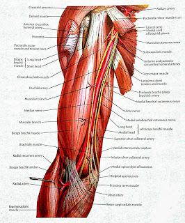 VISUAL ANATOMY: Brachial Artery & And Anastomoses around