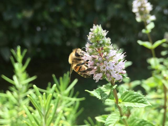 Biene an der Minze beim Patenkind