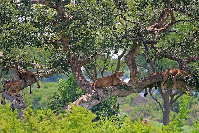 Tree-climbing lions of Uganda