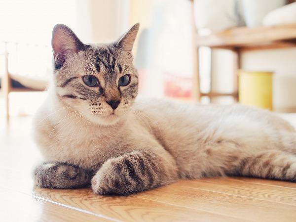 通常時のシャムトラ猫