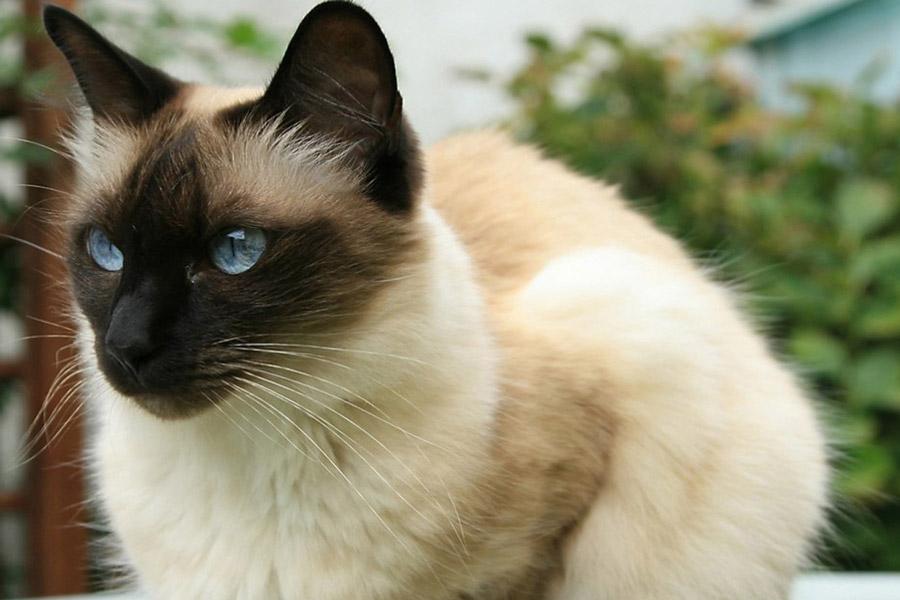 obstrucción uretral de gatos castrados contra gatos machos enteros
