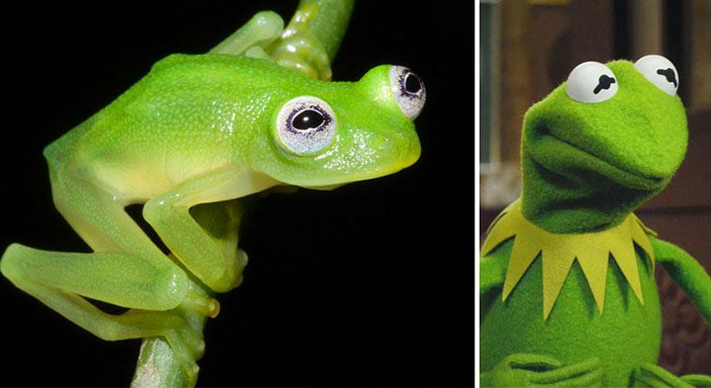 Científicos descubren a la rna Kermit en  alta en la selva de Costa Rica