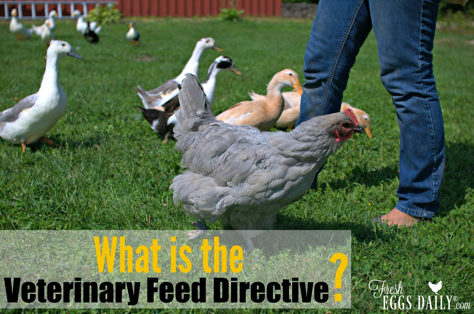 What is the Veterinary Feed Directive (VFD) | Fresh Eggs Daily®