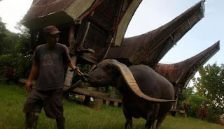 Jenis-Jenis Kerbau di Indonesia