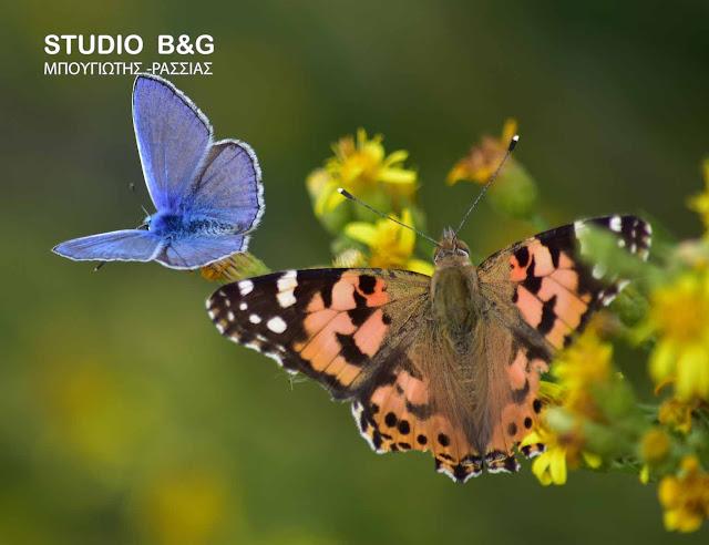 Η φωτογραφία της ημέρας: Σπάνια πεταλούδα στο Ναύπλιο με μπλε αποχρώσεις που... δεν είναι μπλε!!! (βίντεο)