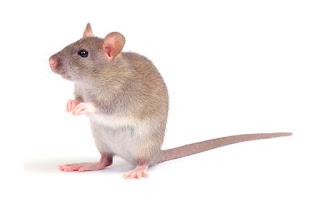 plaga de ratas castellon