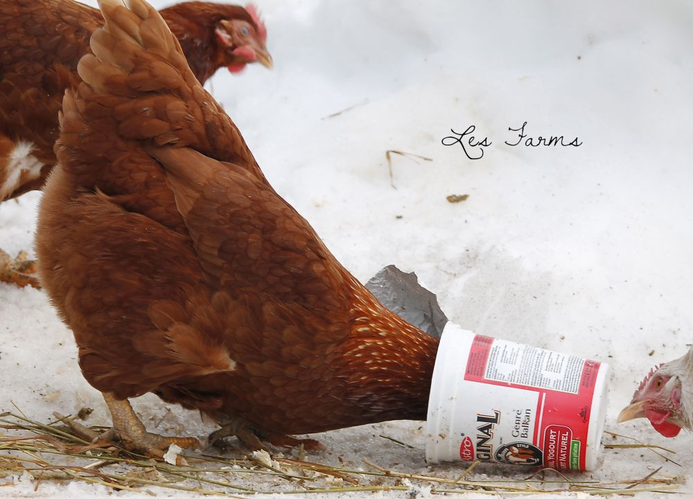 Natural Chicken Keeping: Fermented Feed