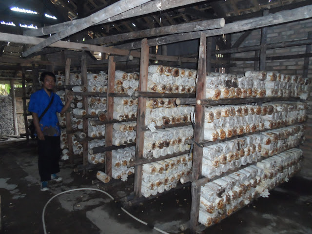 Taufik Hidayat pengusaha jamur tiram di Tanjungbalai.