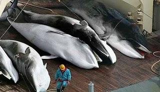URGENTE: japon volvera  a cazar ballenas en el 2019.