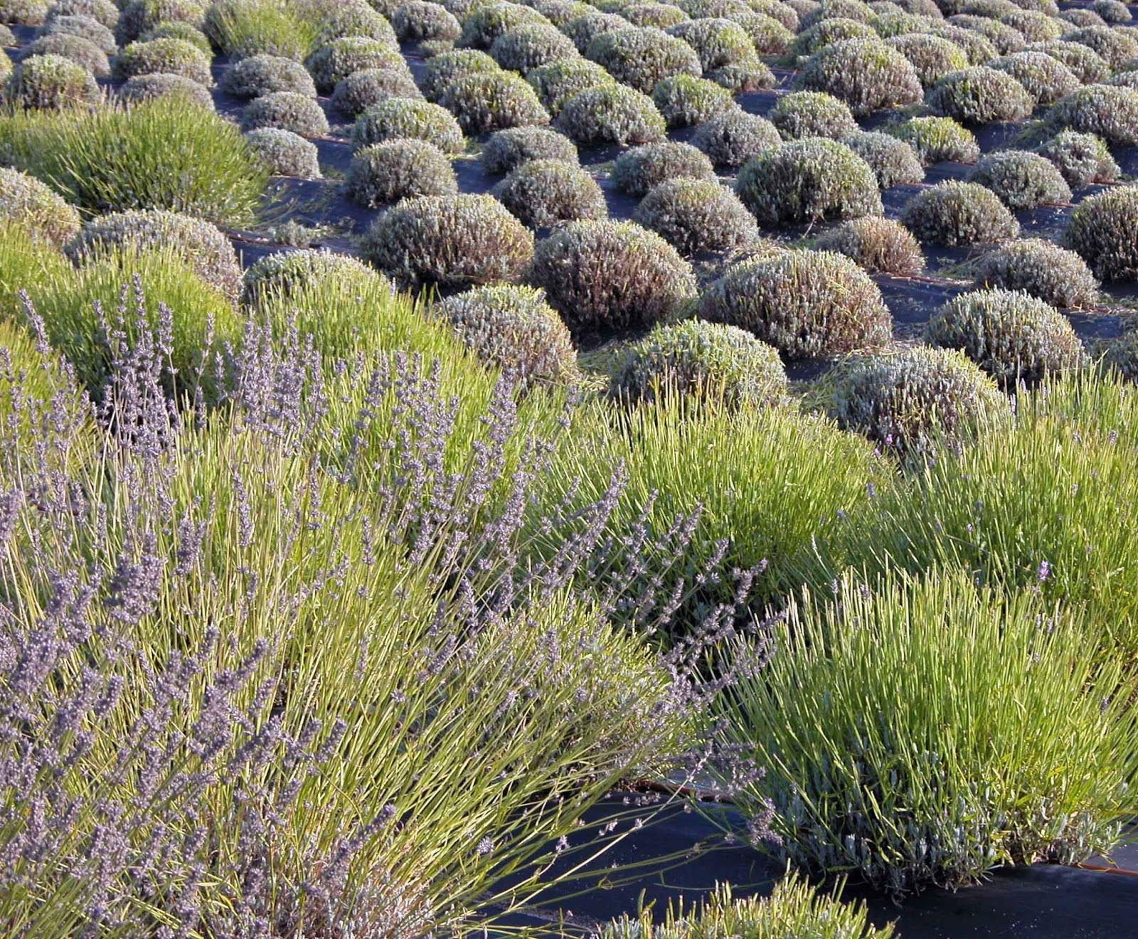 The Complete Lavender Experience How To Prune Lavender
