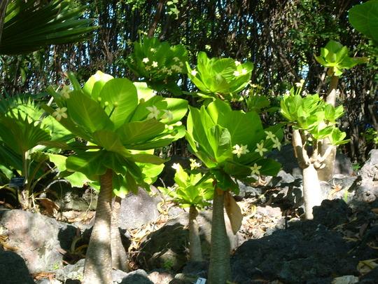 Palma delle Hawaii