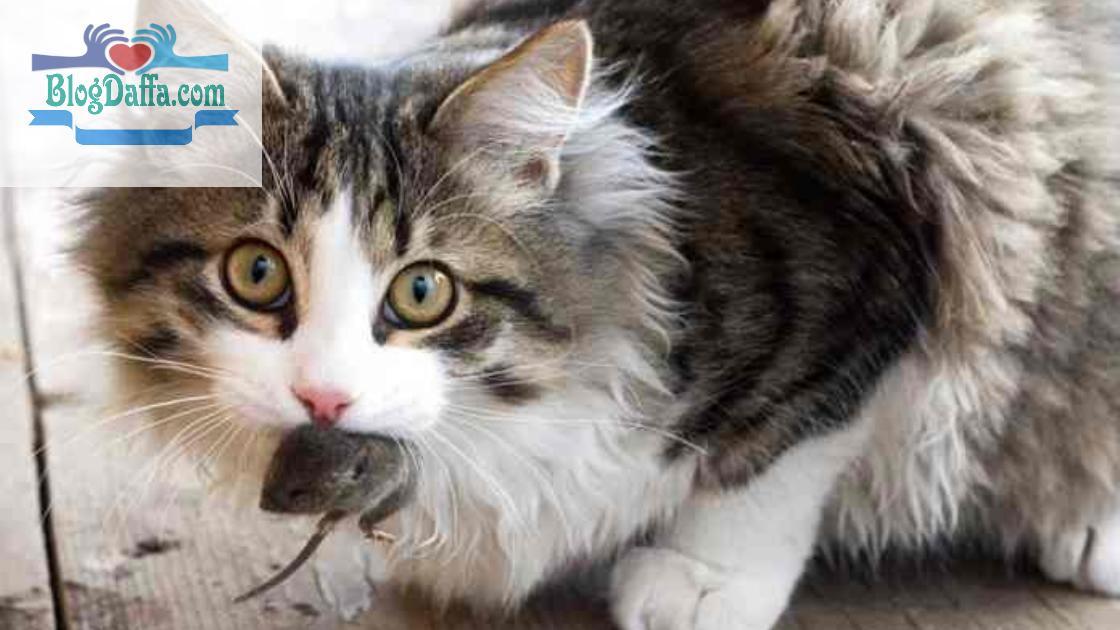 Kenapa kucing Membawa Tikus Mati