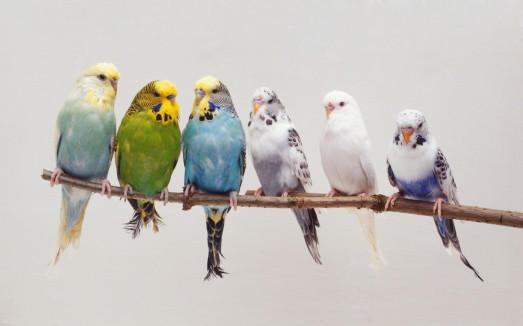 الأن اسعار العصافير 2021 - قائمة اسعار العصافير الكوكتيل الفيشر والكنارى والاسترالى وزيبرا في مصر 2021 بالصور كاملة