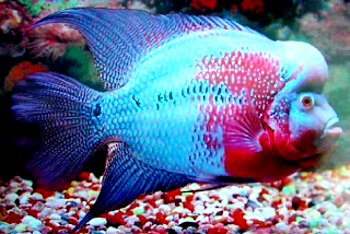 Mengenal habitat dan sejarah Ikan Louhan