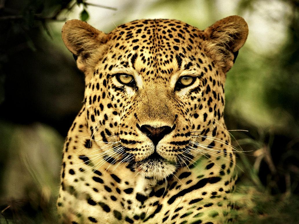 The jungle store leopard vs cheetah vs jaguar - Jaguar hd pics ...