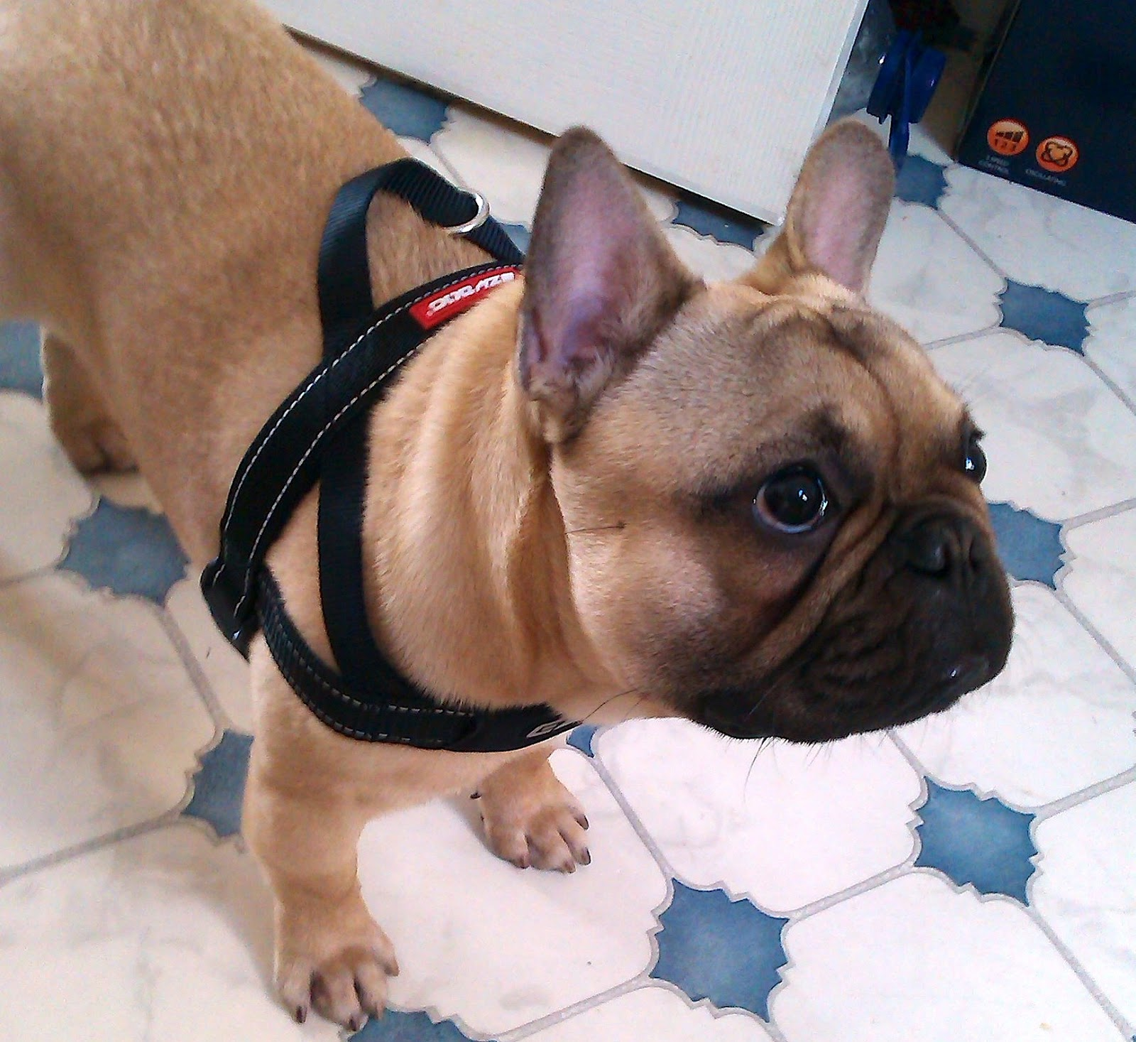 ezydog quick fit dog harness