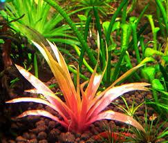 Màu hồng bắt mắt của cây thủy sinh dùi trống Ấn Độ