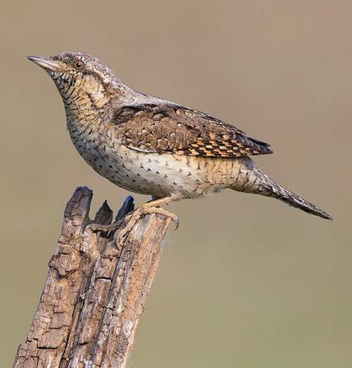 Birds of India - Photo of Eurasian wryneck - Jynx torquilla