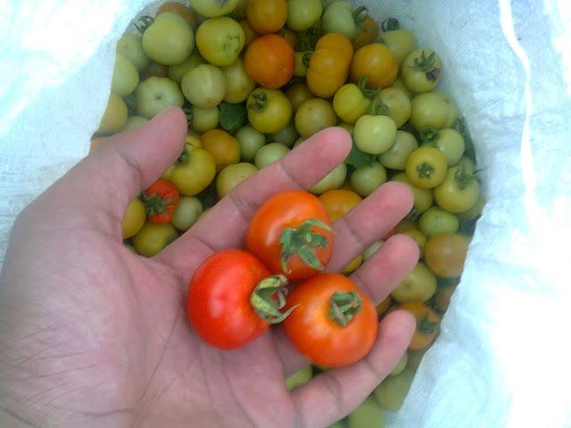 Buah Tomat Rampai Organik Segar Yang Telah Dipanen
