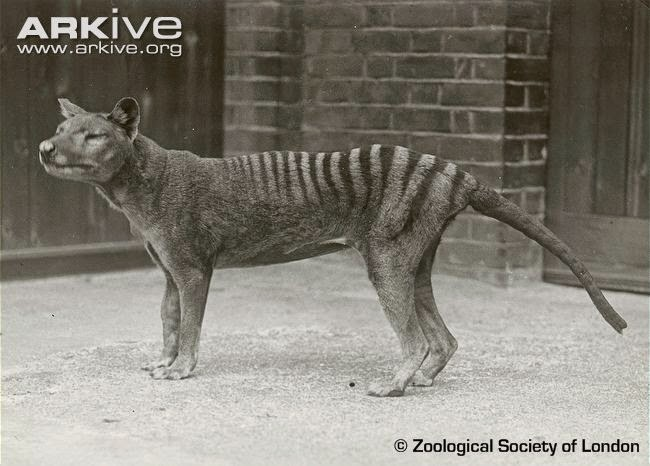 extinct thylacine