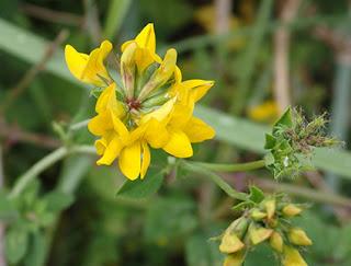 Cuernecillo grande (Lotus pedunculatus o uliginosus) flor silvestre amarilla