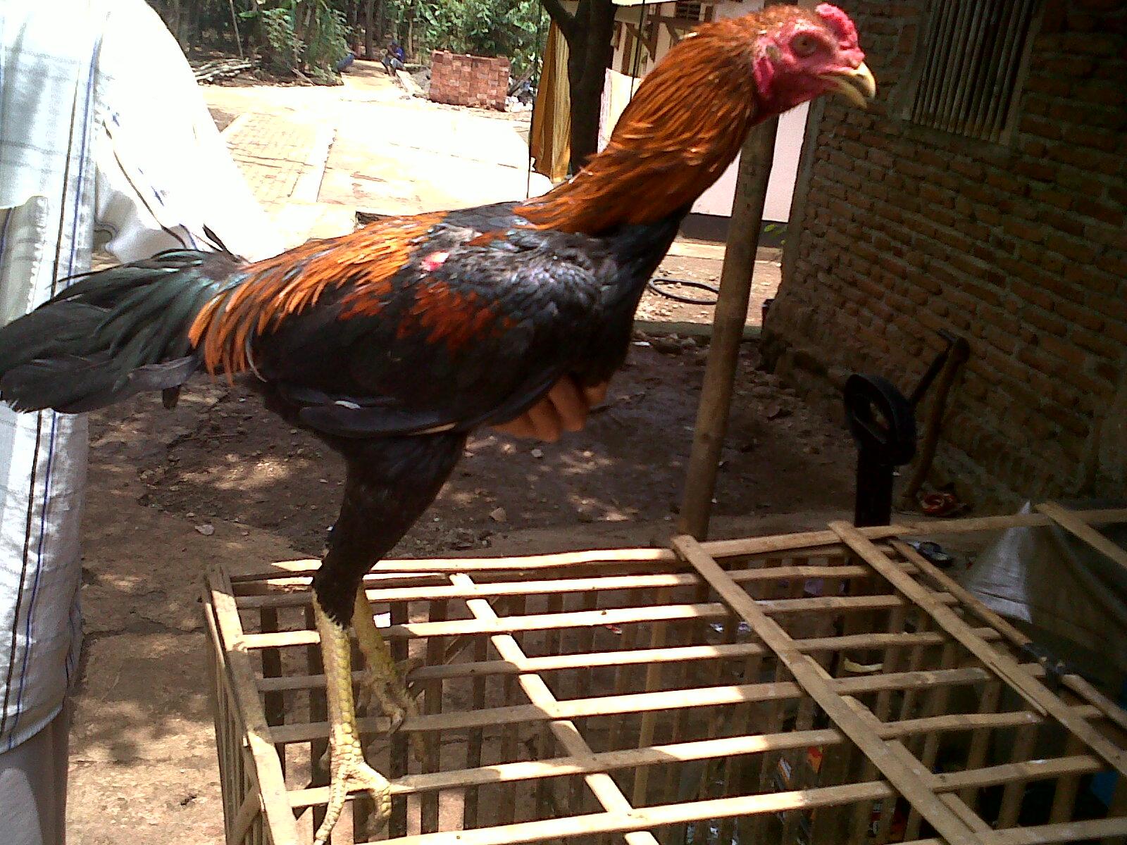 Lancuran Bajak Laut (Koleksi Lancurans Ayam Bangkok)