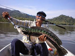Umpan-Mancing-Ikan-Gabus