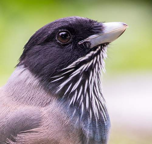 Black-headed jay - Garrulus lanceolatus