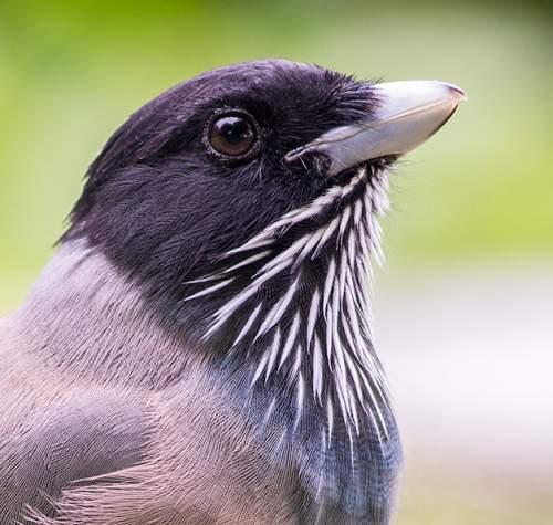 Black-headed jay - Garrulus lanceolatus