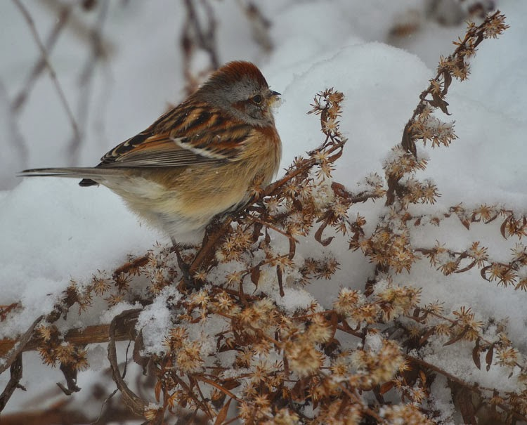 ...the beautiful warm colors of these arctic birds also help them blend into dried and dead winter foliage.