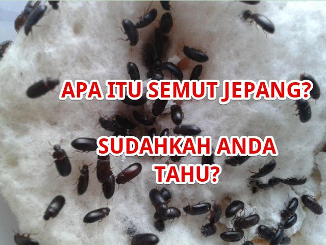 Benarkah Semut Jepang Bisa Sembuhkan Penyakit Ekstrem